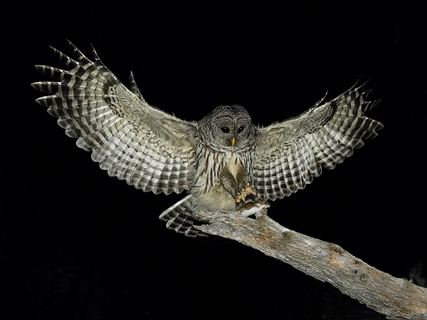 Bird of the Month - February 2014 - Dark-eyed Junco